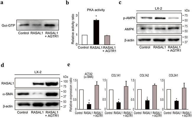 RASAL1 interacts with AGTR1 and regulates Gαi function.