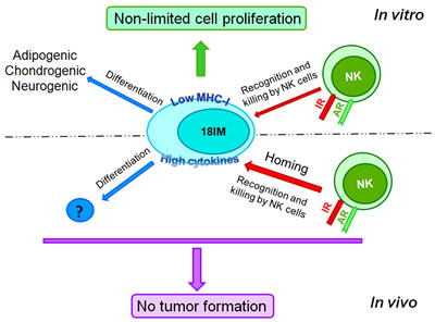 18IM cells are immortalized but do not produce tumors in experimental animals, showing the asymmetric behavior