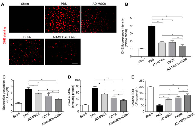 CB2 agonist adjuvant with AD-MSCs leads to attenuation of myocardial oxidative stress.