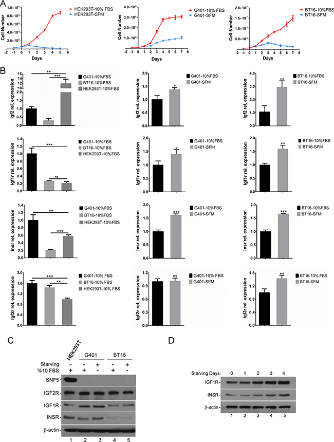 The serum-free growth of MRT cell lines is accompanied by the activation of IGF2 axis.