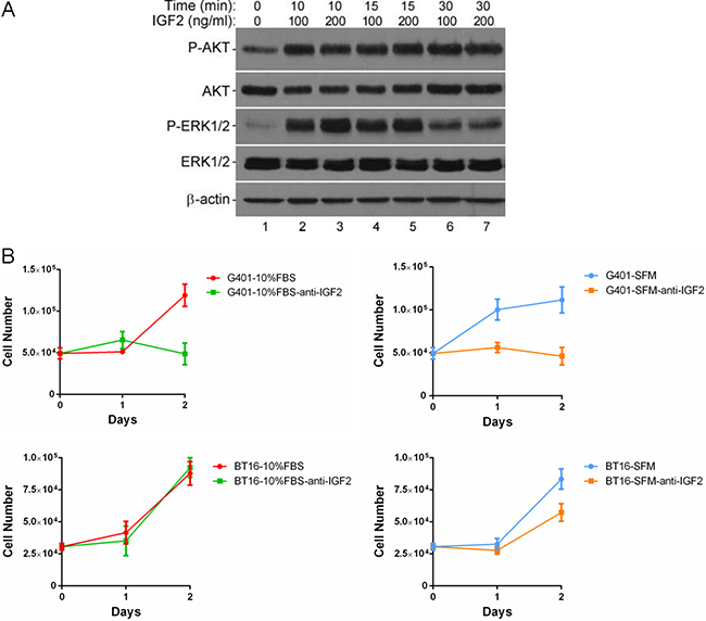 IGF2 activated a multiple kinases program, inhibition of IGF2 reduced cell viabilities in MRT cell lines.