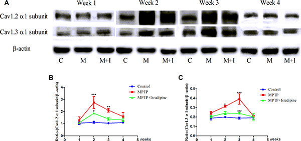 Protein expressions of Cav1.2 and Cav1.3 α1 subunits increased in the SN of MPTP-treated mice.