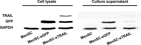 After cells were transfected with Ad35, the cell lysates and culture supernatants were obtained and evaluated using Western blot analysis.