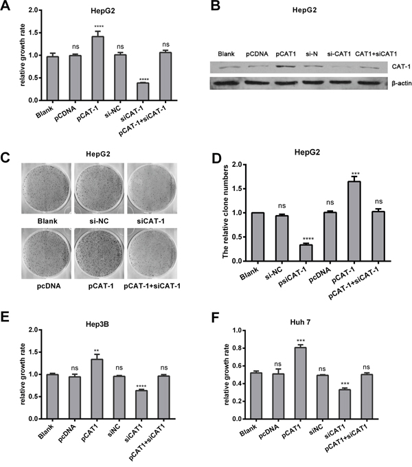 CAT-1 promotes, and CAT-1 knockdown reduces, cell proliferation and increases colony formation.