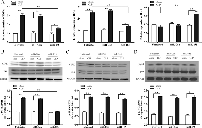 Transfection of miR-155 mimic attenuates inflammatory responses in late sepsis mice and suppresses p-JNK expression.