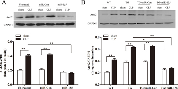 Transfection of miR-155 mimic inhibits myocardium Arrb2 expression in late sepsis.