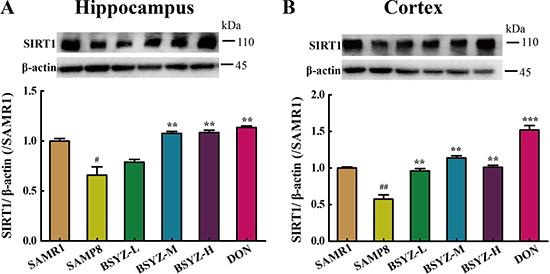 BSYZ up-regulates SIRT1 protein expression in SAMP8.