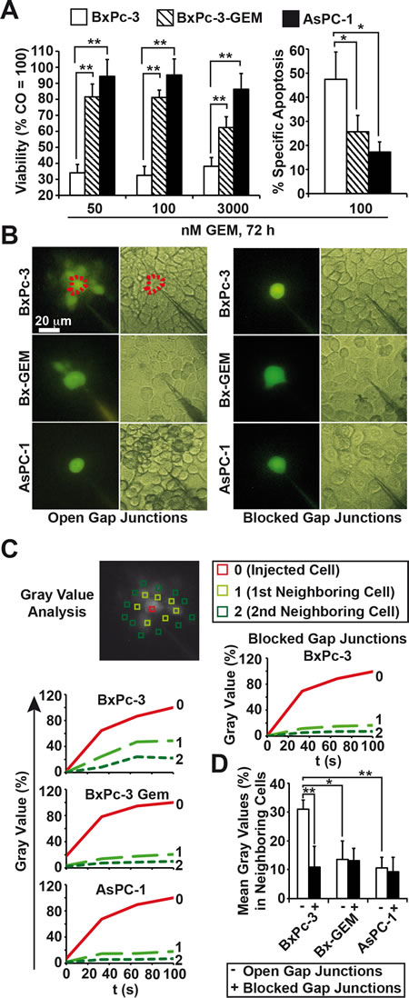 Loss of GJIC correlates with a CSC-phenotype.
