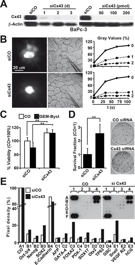Silencing of Cx43 blocks GJIC and induces therapy resistance and clonogenicity.