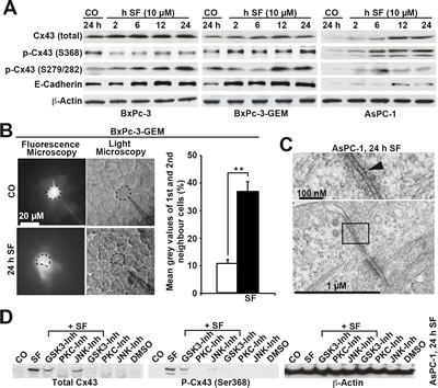 Sulforaphane enhances GJIC and Cx43 protein expression, which is prevented by inhibition of kinase activity.