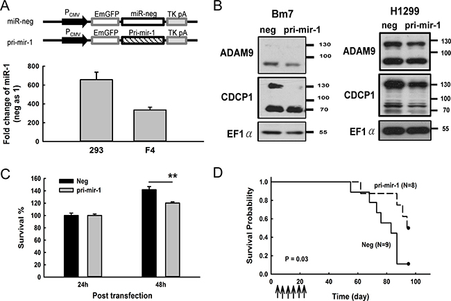 Overexpression of miR-1 decreased CDCP1 protein expression and prolonged survival time in mice bearing lung tumors.