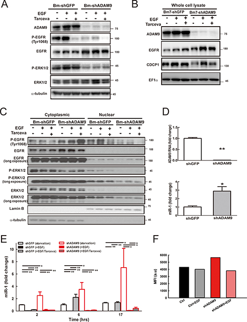 ADAM9 knockdown reduced EGFR signaling and increased miR-1 expression.