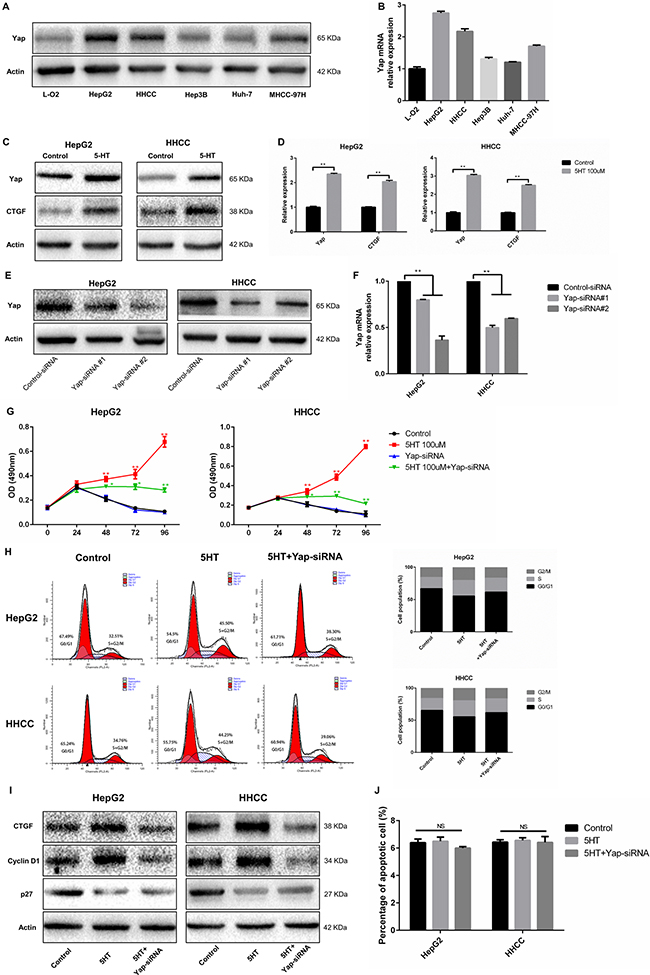 Yap, which is regulated by 5-HT, promotes proliferation.