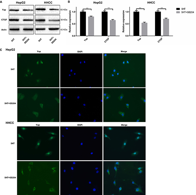 5-HT2BR promoted the activation and expression of Yap.