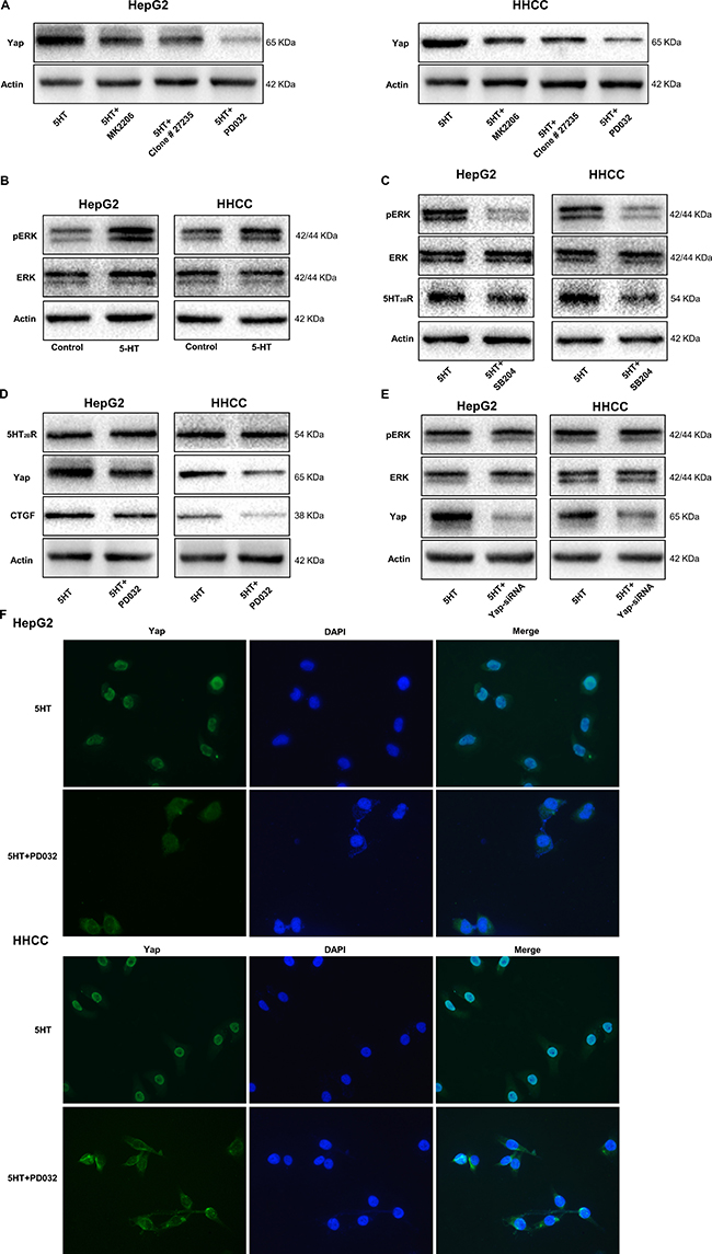 pERK upregulated by activated 5-HT2BR promotes Yap activation and expression.