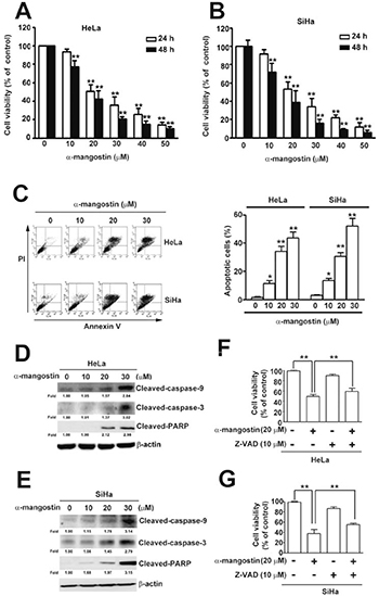 Cytotoxic effects of α-mangostin in cervical cancer cells.