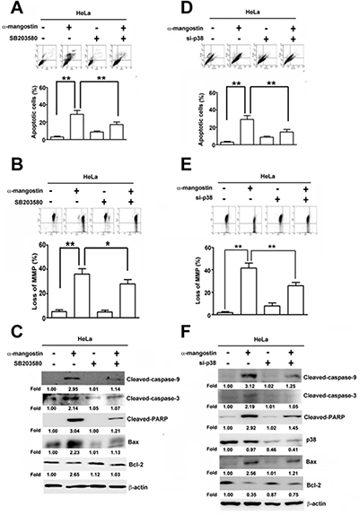 p38 is involved in α-mangostin-induced apoptotic cell death in cervical cancer cells.