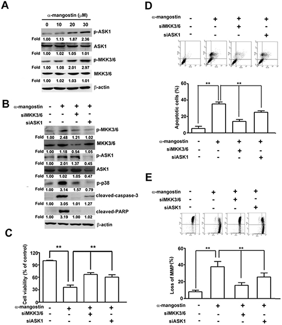 ASK1-MKK3/6-p38 cascade mediates α-mangostin-induced apoptotic cell death in cervical cancer cells.