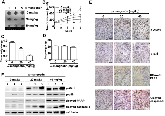 Alpha-mangostin suppresses tumor growth in accordance with activation of ASK1/p38 and caspase cascade in a xenograft model of cervical cancer.