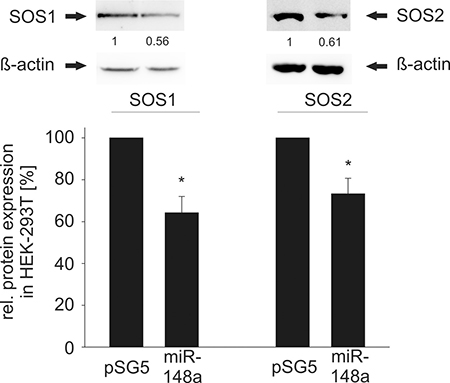 Western Blot analysis of miR-148a effects on endogenous SOS1/2 protein levels in HEK-293T cells.