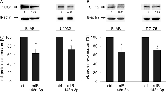 Western Blot analysis of miR-148a-3p effects on endogenous SOS1/2 protein levels in B cell lines.