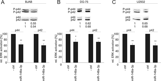 Western Blot analysis of miR-148a-3p effects on the activation of ERK1/2 in B cell lines.