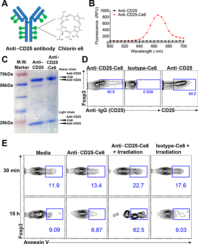 Anti-CD25-Ce6-targeted PDT induces apoptosis of target cells in vitro.