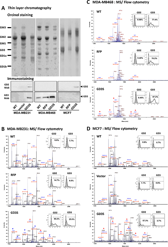 GD3S expression modifies GSL profiles in breast cancer cell lines.