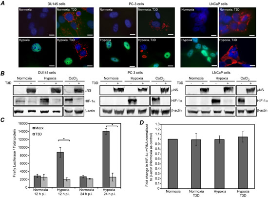 MRV infected hypoxic prostate tumor cells contain diminished HIF-1α protein levels.