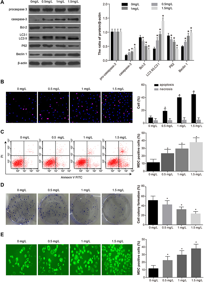 Comparisons of the autophagy, proliferation and apoptosis after SKOV3 cells were treated by different concentrations of tunicamycin (0, 0.5, 1, 1.5 mg/L) for 24 h.