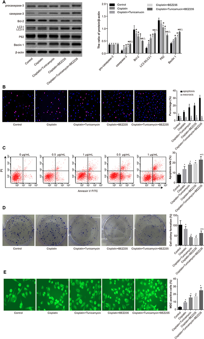 Comparisons of autophagy, proliferation and apoptosis of SKOV3/CDDP cells in five groups.