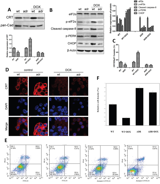 The expression of CRT and ER stress-related proteins and apoptosis in the wild-type and drug-resistant EC cells following DOX treatment.