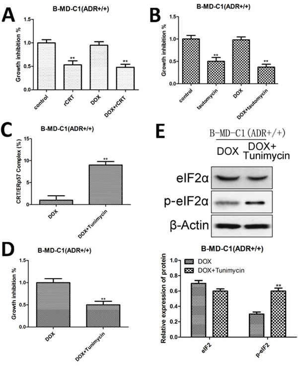 Growth inhibition, CRT/ERp57 and p-elF2α expression in drug-resistant EC cells following overexpressing CRT and treated with tautomycin and tunicamycin.