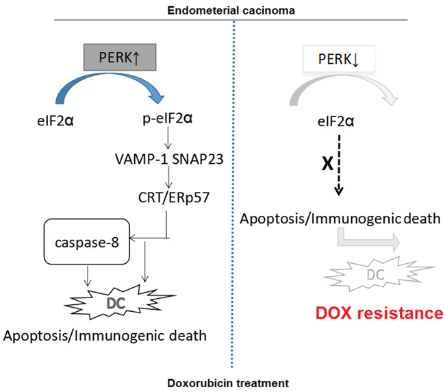Proposed molecular mechanisms underlying the immunogenic apoptosis induced by ER stress-mediated membrane expression of CRT/ERp57.