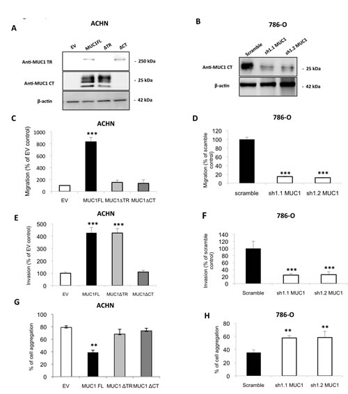 MUC1 increases migratory and invasive properties and decreases cell-cell interaction in ACHN and 786-O cells.