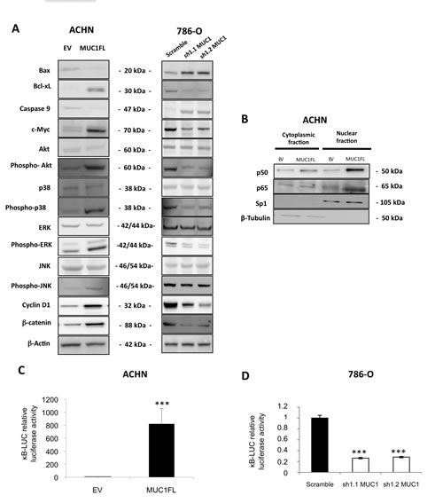 Impact of MUC1 expression on signaling pathways.