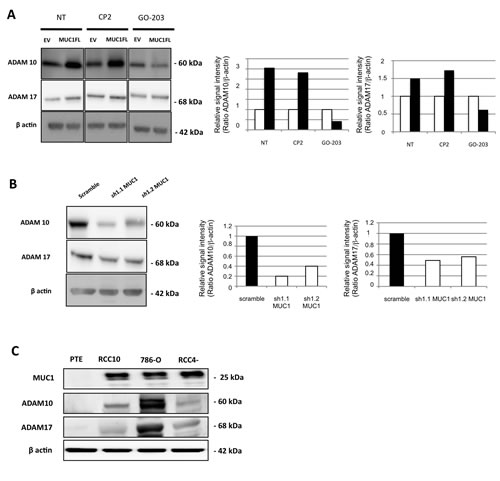 MUC1 is involved in increase of ADAM10 and ADAM17 expression.