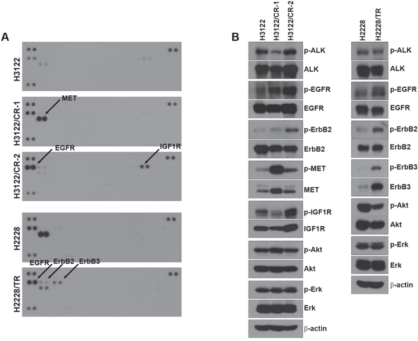 Activation of other RTKs in acquired resistance to ALK inhibitors.