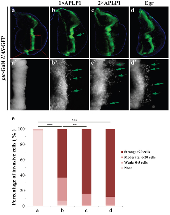 APLP1 induces cell migration in Drosophila.