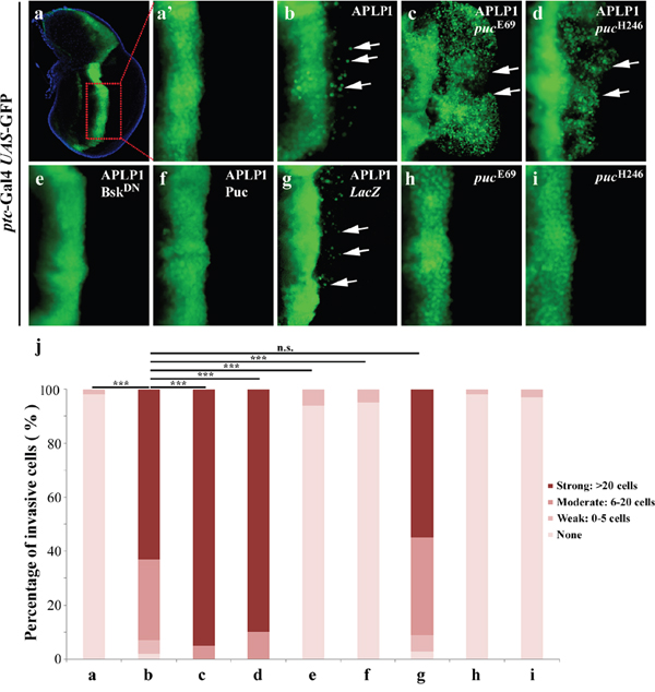 APLP1-induced cell migration depends on JNK signaling.