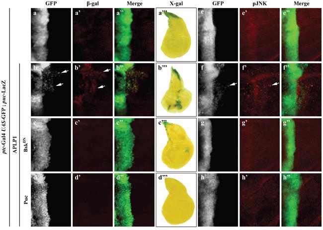 APLP1 activates JNK signaling in vivo.