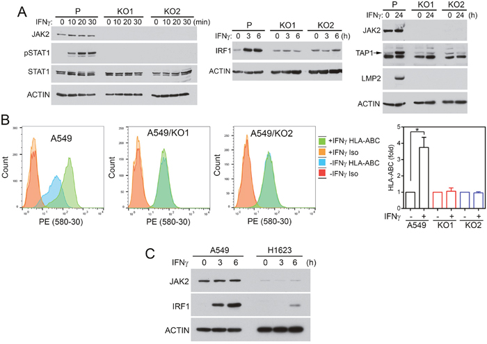 JAK2 deficiency impairs responses to IFNγ in NSCLC cells.