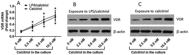 VitD up regulates VDR expression in T84 cells.