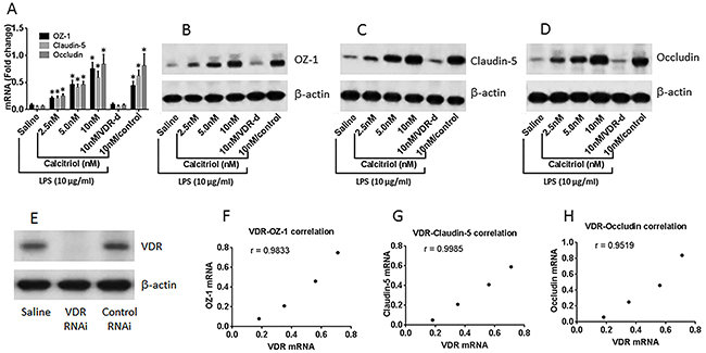 VitD reverses the LPS-suppressed Tj protein expression.