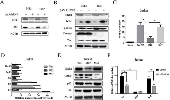 Tax defective for NF-κB activation induces EGR1 expression to a lesser degree compared to wild-type Tax.