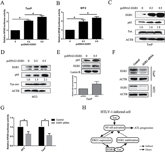 EGR1 overexpression enhances NF-κB activation and p65 nuclear translocation.