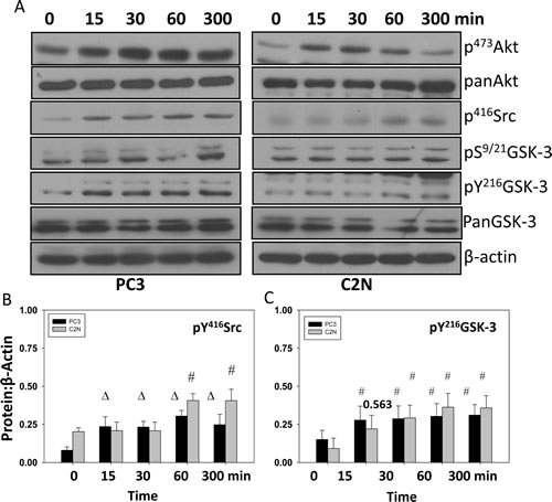 EGF treatment increases phosphorylation of
