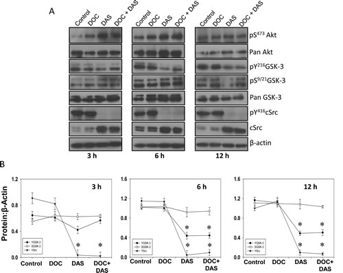 Dasatinib, a Src family kinases and Bcr/Abl inhibitor inhibits GSK-3 Y216 phosphorylation.