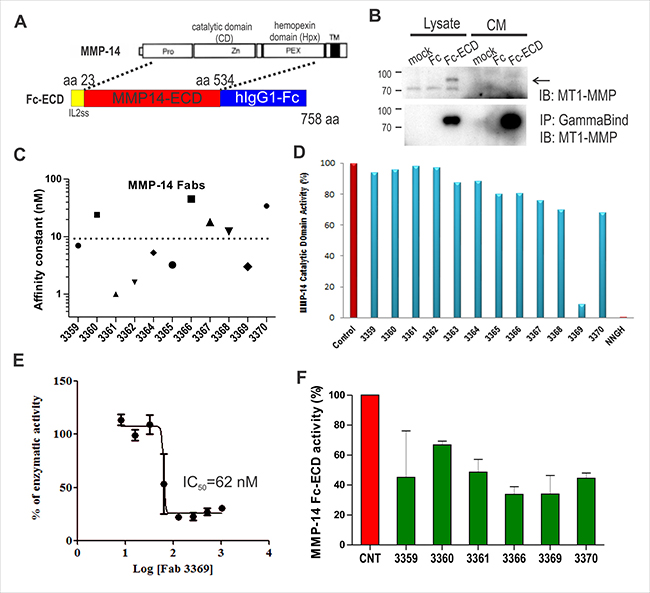 Anti-MMP-14 synthetic antibody identification and profiling.