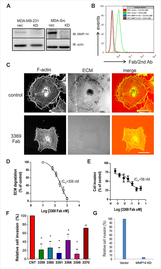 Fab 3369 inhibits MMP-14-mediated ECM degradation and MDA-MB-231 cell invasion.